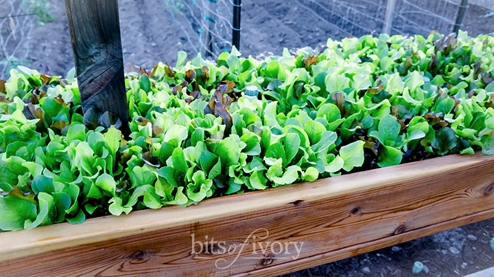Raised Garden Bed Lettuce at Bits of Ivory